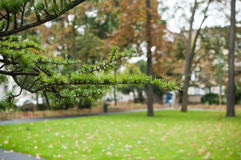 Rama del cedro en parque urbano Fotos de archivo libres de regalías