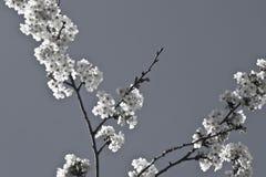 Rama del cerezo de la primavera con las flores florecientes del blanco en adorno blanco y negro del modelo Fotos de archivo libres de regalías