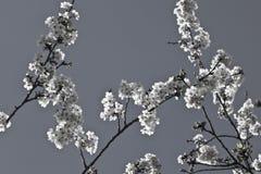 Rama del cerezo de la primavera con las flores florecientes del blanco en adorno blanco y negro del modelo Imagen de archivo libre de regalías