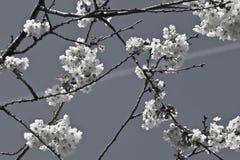 Rama del cerezo de la primavera con las flores florecientes del blanco en adorno blanco y negro del modelo Imágenes de archivo libres de regalías