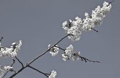 Rama del cerezo de la primavera con las flores florecientes del blanco en adorno blanco y negro del modelo Foto de archivo libre de regalías