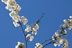 Rama del cerezo de la primavera con las flores florecientes del blanco en modelo del adorno del fondo del cielo azul Fotografía de archivo
