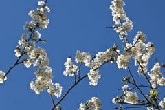 Rama del cerezo de la primavera con las flores florecientes del blanco en modelo del adorno del fondo del cielo azul Foto de archivo