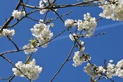 Rama del cerezo de la primavera con las flores florecientes del blanco en modelo del adorno del fondo del cielo azul Fotos de archivo