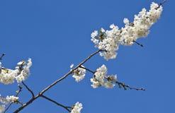 Rama del cerezo de la primavera con las flores florecientes del blanco en modelo del adorno del fondo del cielo azul Imagen de archivo