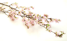 Rama del cerezo en un fondo blanco Foto de archivo libre de regalías