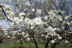 Rama del cerezo floreciente en primavera Imagen de archivo libre de regalías
