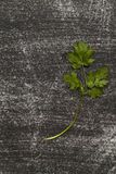 Rama del cilantro fresco en el fondo negro llevado con los rasguños fotos de archivo
