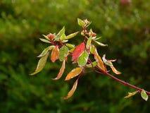 Rama del Cornus del cornejo con las hojas de otoño que dan vuelta a rojo y al oro fotografía de archivo