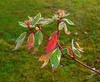 Rama del Cornus del cornejo con las hojas de otoño que dan vuelta a rojo y al oro imagen de archivo