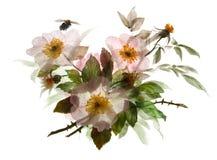 Rama del dogrose del flor con la abeja Ramo del flor del verano en el fondo blanco Foto de archivo