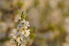 Rama del endrino con las flores blancas con descensos de rocío en la salida del sol Imagenes de archivo