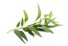 Rama del eucalipto Foto de archivo libre de regalías
