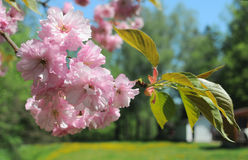 Rama del flor de Sakura foto de archivo libre de regalías