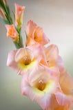 Rama del gladiolo con las flores y los brotes rosados Foto de archivo libre de regalías