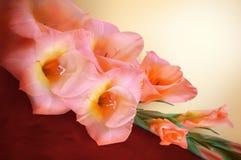 Rama del gladiolo con las flores y los brotes rosados Imagenes de archivo