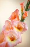 Rama del gladiolo con las flores y los brotes rosados Foto de archivo