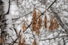 Rama del invierno de árboles con las hojas escarchadas secas del marrón cubiertas con la nieve blanca Fotos de archivo
