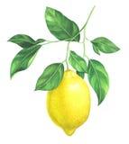 Rama del limón de la acuarela en el fondo blanco stock de ilustración