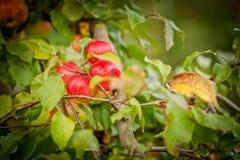 Rama del manzano Fotografía de archivo