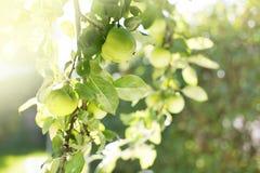 Rama del manzano Foto de archivo libre de regalías