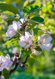 Rama del manzano con las flores del estuco y las hojas blancas florecientes del verde Imagen de archivo libre de regalías