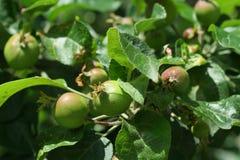 Rama del manzano con las frutas Imagen de archivo libre de regalías