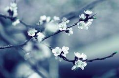 Rama del manzano de la primavera del flor Fotos de archivo libres de regalías