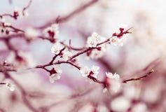 Rama del manzano de la primavera del flor Foto de archivo