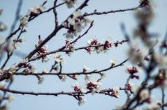 Rama del manzano de la primavera del flor Imagenes de archivo