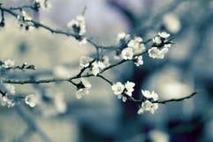 Rama del manzano de la primavera del flor Foto de archivo libre de regalías
