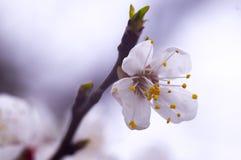 Rama del manzano de la primavera del flor Fotos de archivo