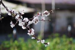 Rama del manzano de la primavera del flor Imagen de archivo libre de regalías