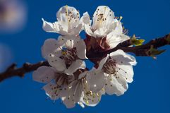 Rama del manzano de la primavera del flor Fotografía de archivo libre de regalías