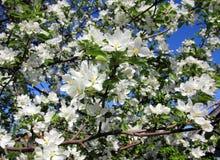 Rama del manzano del flor Imagenes de archivo