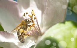 Rama del manzano en la floración en la primavera Imagen de archivo libre de regalías