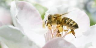 Rama del manzano en la floración en la primavera La abeja vuela Foto de archivo libre de regalías