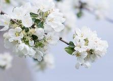 Rama del manzano en la plena floración con las flores blancas y rosadas Foto de archivo libre de regalías
