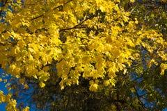 Rama del otoño con las hojas Imagen de archivo