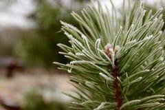 Rama del pino Imagen de archivo libre de regalías