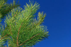 Rama del pino Fotografía de archivo libre de regalías