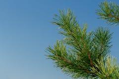 Rama del pino Foto de archivo libre de regalías