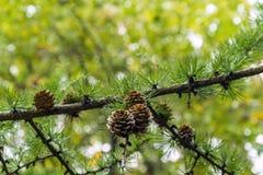 Rama del pino Fotos de archivo