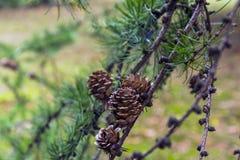 Rama del pino Imagenes de archivo
