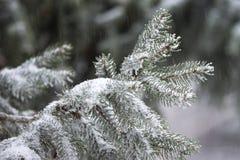 Rama del pino Fotos de archivo libres de regalías