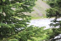 Rama del pino Fotografía de archivo