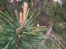 Rama del pino con el cono verde imagen de archivo libre de regalías