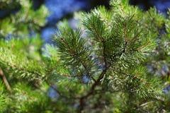 Rama del pino con las agujas Fotos de archivo libres de regalías