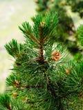Rama del pino con las agujas del pino y los conos del pino Imagenes de archivo