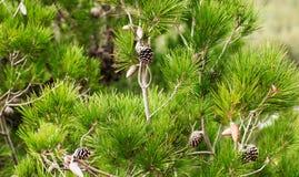 Rama del pino con los conos Imagen de archivo